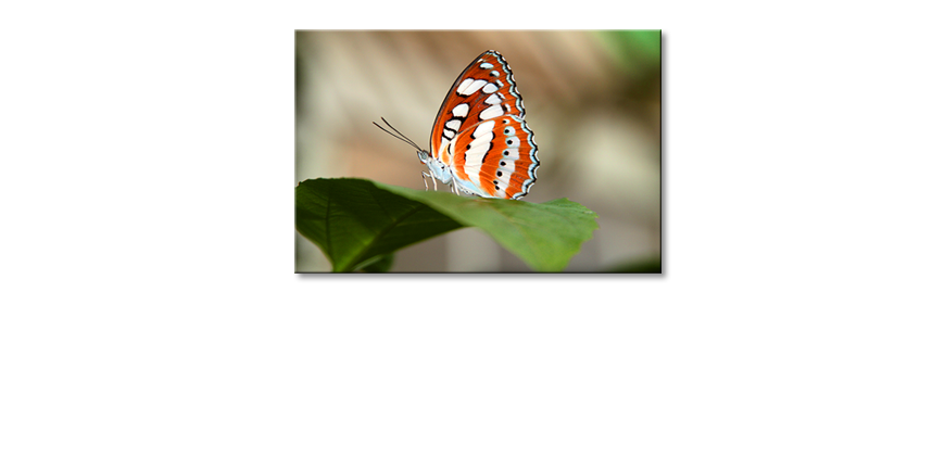 Art-print-Orange-Butterfly
